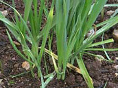 Allium kurrat Egyptian Leek