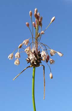 Allium oleraceum Field Garlic