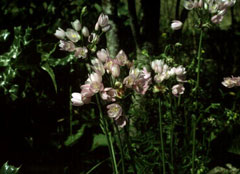 Allium roseum Rosy Garlic