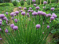 Allium schoenoprasum Chives, Wild chives, Flowering Onion