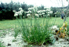 Allium tuberosum Garlic Chives, Chinese chives, Oriental Chives,