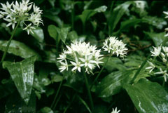Allium ursinum Wild Garlic