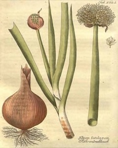 Allium fistulosum Welsh Onion