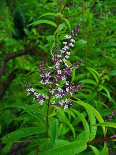 Aloysia triphylla Lemon Verbena, Lemon beebrush