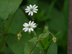 Stellaria media Chickweed, Common chickweed