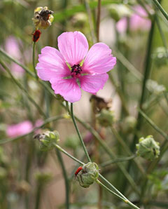 Althaea cannabina Palm-leaf marshmallow
