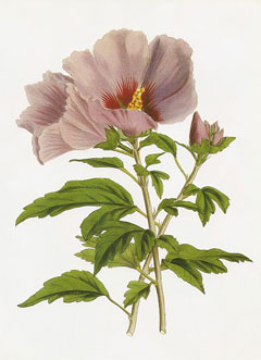 Hibiscus syriacus Rose Of Sharon, Althaea, Shrub Althea, Hardy Hibiscus