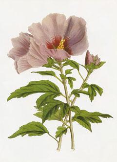 hibiscus syriacus rose of sharon althaea shrub althea. Black Bedroom Furniture Sets. Home Design Ideas