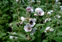 Althaea officinalis Marsh Mallow, Common marshmallow