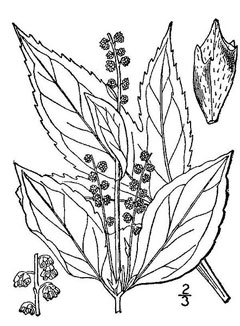 Ambrosia trifida Giant Ragweed, Great ragweed, Texan great ragweed, Bitterweed, Bloodweed, Buffalo Weed, Horse Cane