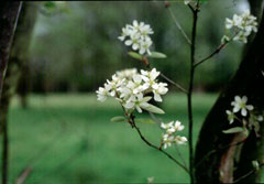 Amelanchier canadensis Juneberry, Canadian serviceberry, Serviceberry Downy, Shadblow, Shadbush, Serviceberry