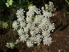 Ammi majus Bishop