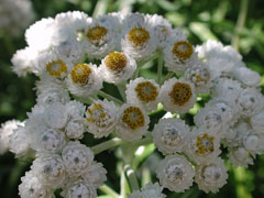 Anaphalis margaritacea Pearly Everlasting, Western pearly everlasting