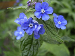 Pentaglottis sempervirens Evergreen bugloss