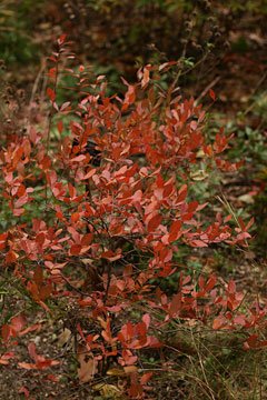 Gaylussacia baccata Black Huckleberry