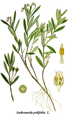 AndromedaPolifolia2.jpg