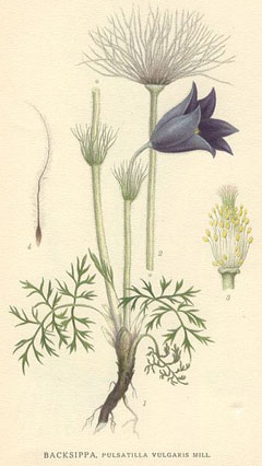 Pulsatilla vulgaris Pasque Flower, European pasqueflower