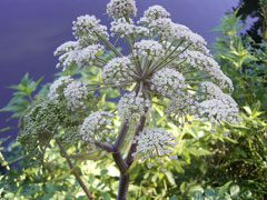 Angelica sylvestris Wild Angelica,Woodland angelica