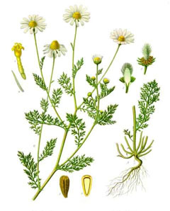 Anthemis cotula Mayweed, Stinking chamomile