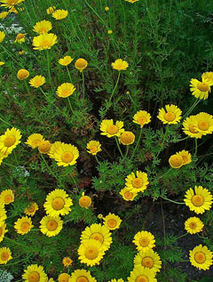 Anthemis tinctoria Yellow Camomile, Golden chamomile,  Dyers