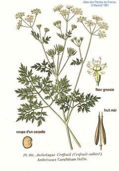 Anthriscus cerefolium Chervil, Garden chervil