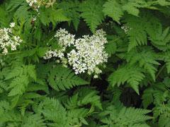 Anthriscus cerefolium Chervil Garden chervil PFAF Plant Database