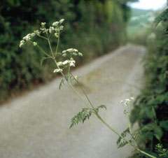 Anthriscus sylvestris Cow Parsley, Wild chervil