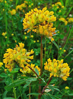 Anthyllis vulneraria Kidney Vetch