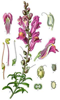 antirrhinum majus snapdragon garden snapdragon pfaf plant database. Black Bedroom Furniture Sets. Home Design Ideas