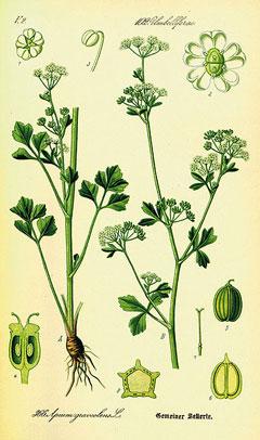 Apium graveolens Wild Celery. Ajmod, Ajwain-ka-patta ...
