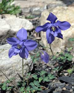 Aquilegia jonesii Columbine, Jones