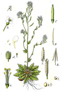 Arabidopsis thaliana Thale Cress, Mouseear cress