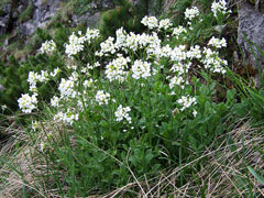 Arabis alpina Alpine Rock Cress, Alpine rockcress