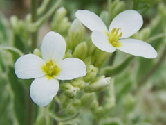 Arabis caucasica Rock Cress, Wall Rockcress