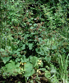 Arctium lappa Great Burdock, Gobo