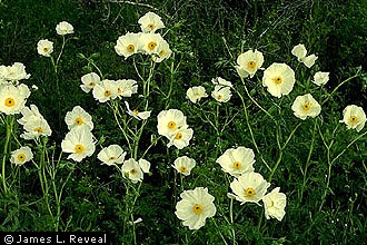 Argemone Albiflora White Prickly Poppy Bluestem