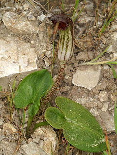 Arisarum vulgare Friar