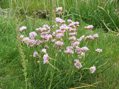 Armeria maritima Sea Thrift, Thrift seapink, California seapink, Interior seapink, Siberian sea thrift