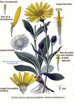 Liste de plantes pour les soins ArnicaMontana