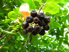 Aronia melanocarpa Black Chokeberry, Black Berried Aronia