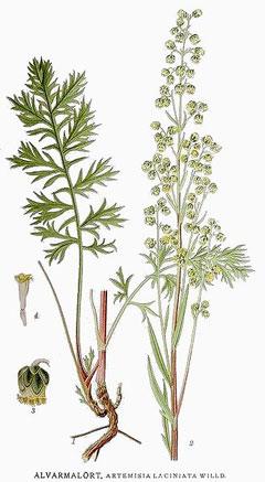 Artemisia laciniata Siberian wormwood PFAF Plant Database