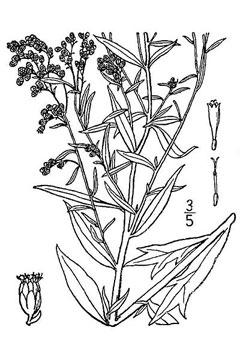 Artemisia ludoviciana White Sage, Louisiana Sage, Prairie Sage