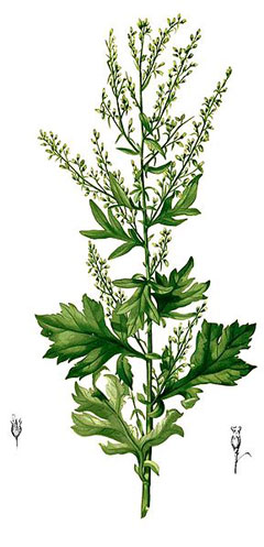 Artemisia vulgaris Mugwort, Common wormwood, Felon Herb, Chrysanthemum Weed, Wild Wormwood
