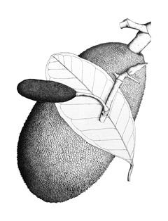 Artocarpus Heterophyllus Jackfruit Pfaf Plant Database All original artworks are the property of freevector.com. artocarpus heterophyllus jackfruit pfaf