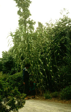 Arundo donax Giant Reed, Giant Reed Grass