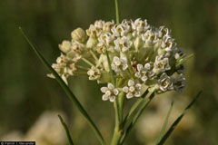 Asclepias galioides Bedstraw Milkweed