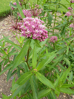 the characteristics of the butterfly weed a medicinal plant from north america Plant finder search for more plants  it has no significant negative characteristics butterfly weed is recommended for the following landscape applications.