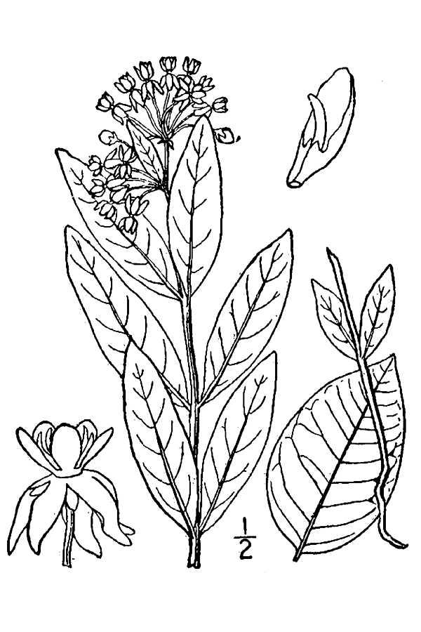 Asclepias Ovalifolia Oval Leaf Milkweed Pfaf Plant Database