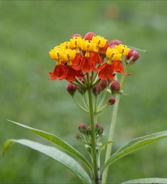 Asclepias currasavica Blood Flower