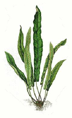 Asplenium scolopendrium Harts Tongue Fern PFAF Plant Database
